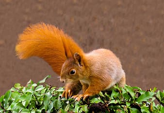Brown squirrel on green leaves