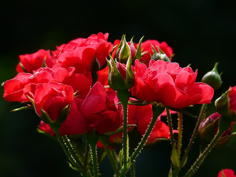 Red petaled flowers