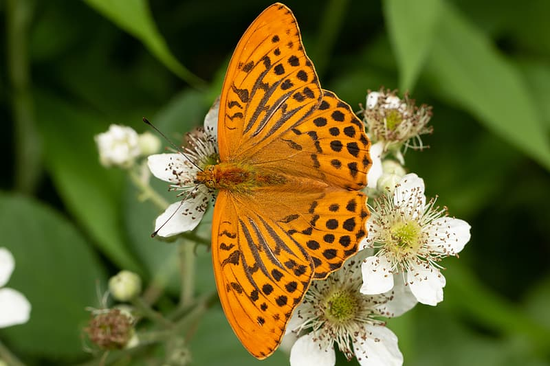 Gulf fritillary butterfly perching on white flowers selective focus photography