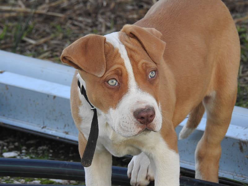 Closeup photography of tan and white American pit bull terrier puppy