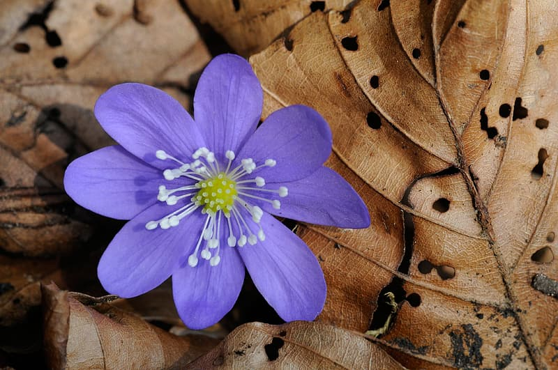Purple hepatica flower on withered leaves