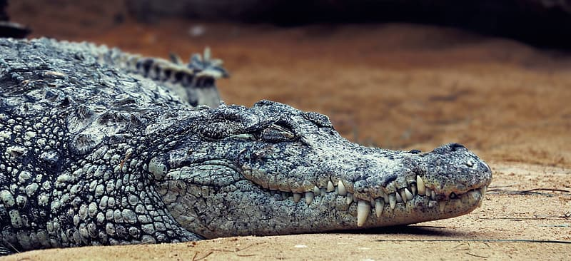Black crocodile on brown soil