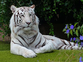 Albino tiger on green grass near purple flowers at daytime