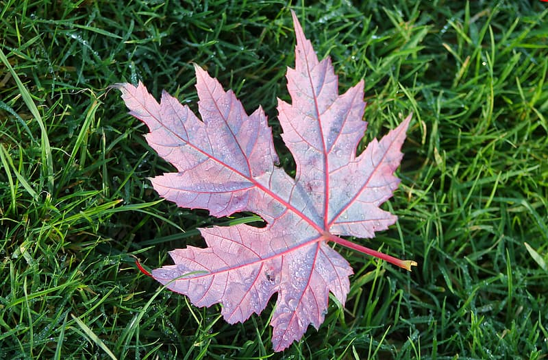 White and red maple leaf on green grass