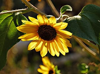 Yellow sunflower at daytime