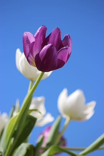 Selective focus photography of purple and white tulip flowers