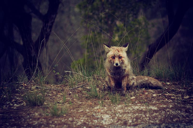 Wildlife photography of brown and white wolf