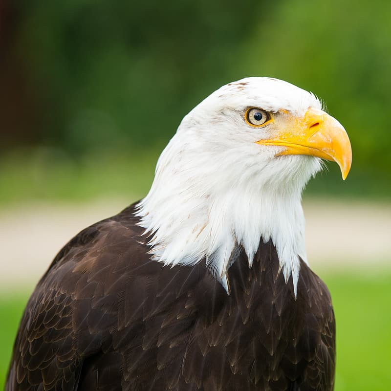 Selective focus photography of white and black bald eagle