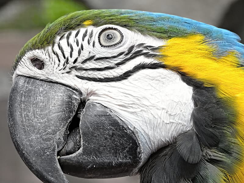 Close up photo of blue-and-yellow macaw