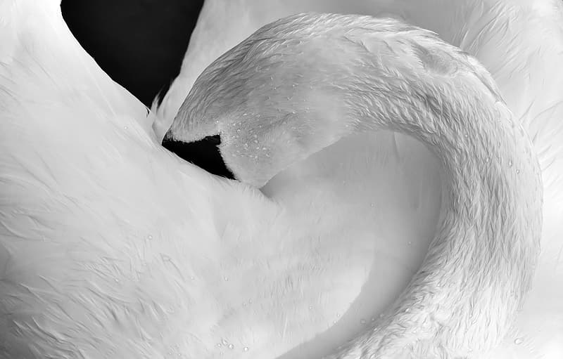 Untitled, swan, feather, plumage, black and white, water bird, nature, animal, schwimmvogel, pride
