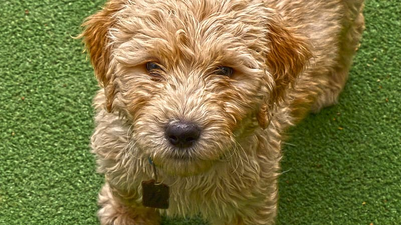 Close-up photo of adult tan Norwich terrier puppy at daytime