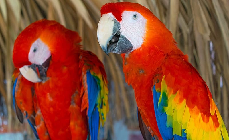 Two red-and-yellow parrots