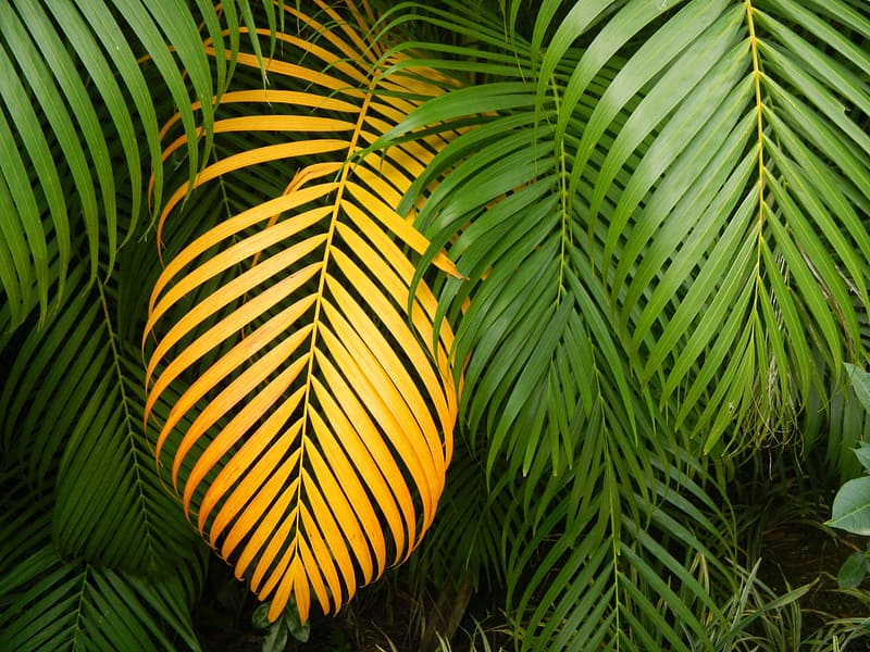 Yellow palm leaves surrounded by green palm leaves