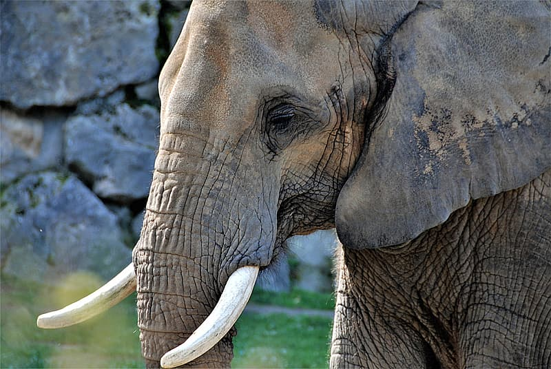 Closeup photo of grey elephant