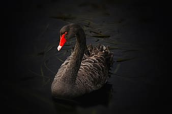 Photo of black and gray goose on body of water