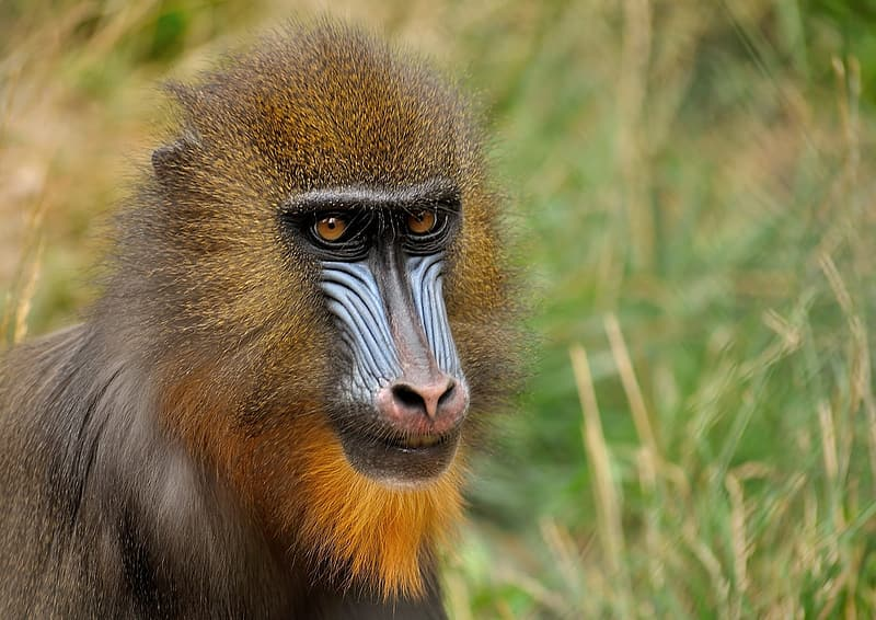 Photo of brown and blue primate animal