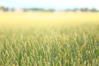Macro photography of wheat plant during daytime