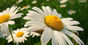 White and yellow daisy flower in bloom during daytime