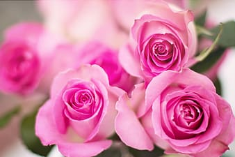 untitled, pink roses, roses, flowers, romance, romantic, love, valentine, floral, bouquet