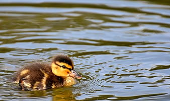 Brown and black duck on water