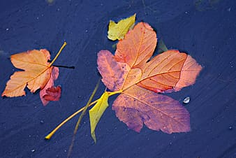 Brown and green maple leaf on water