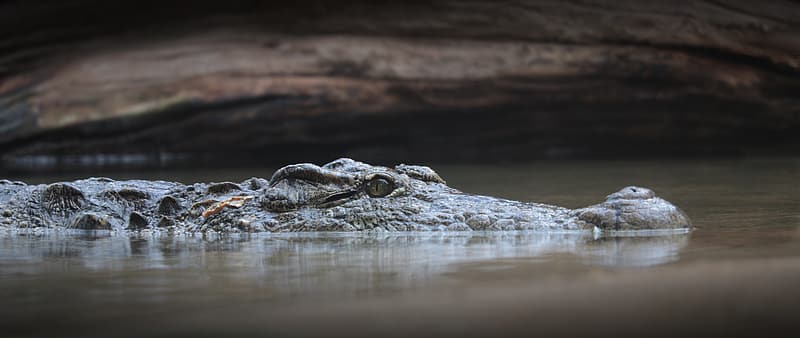 Black and brown crocodile on water