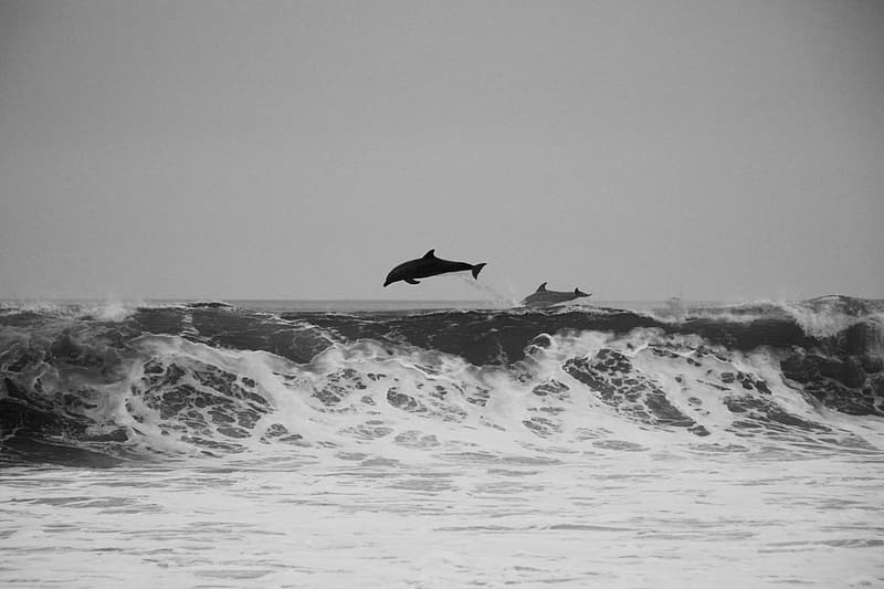 Grayscale photography of dolphin surfing on wave