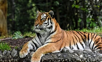 Brown and black tiger lying on gray rock during daytime