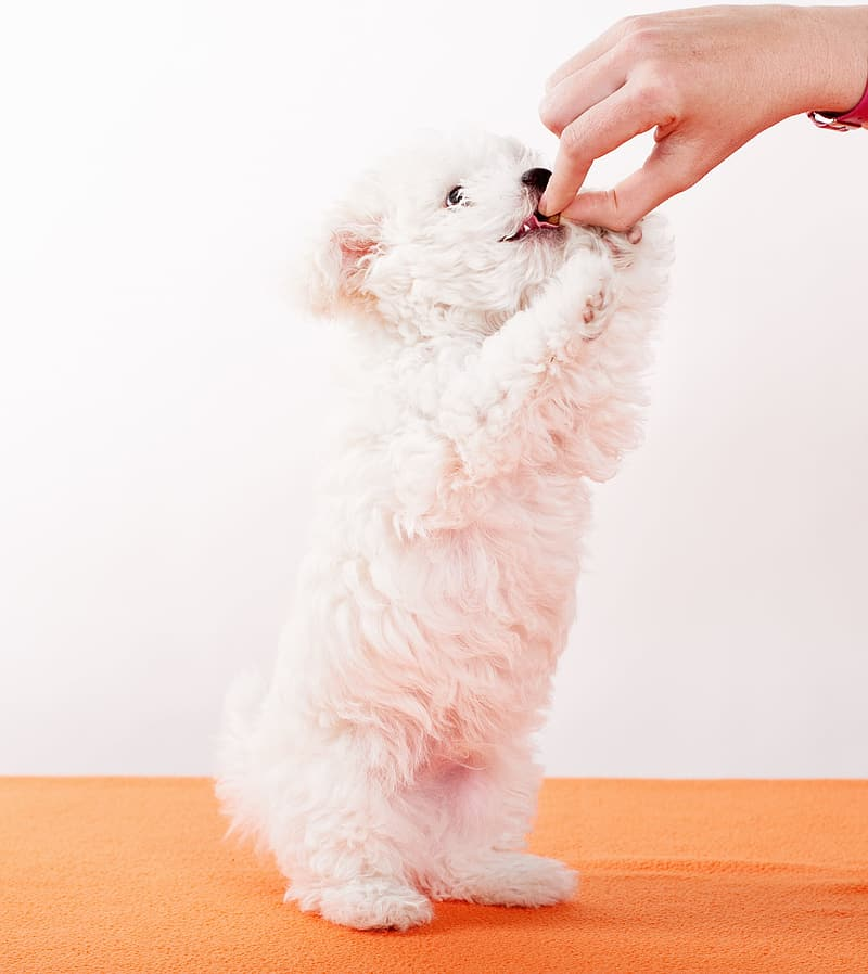 Person holding white puppy