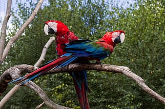Two red-and-blue parrots perched on tree branch