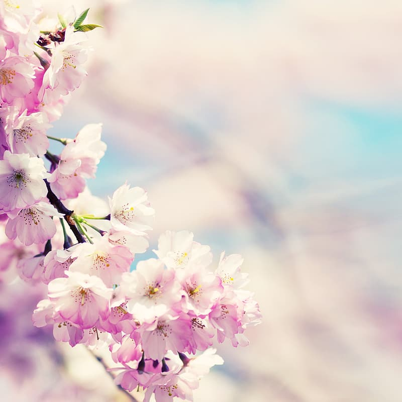 Selective photography of pink and white petaled flowers