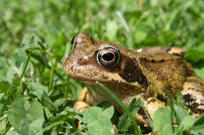 Brown frog on green grass