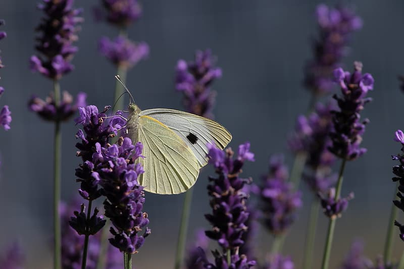 Close-up photography of brimstone butterfly perching on purple petaled flower