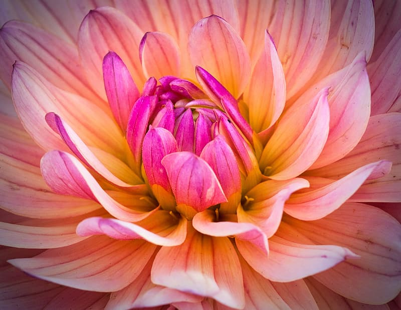 Pink and yellow flower in macro photography