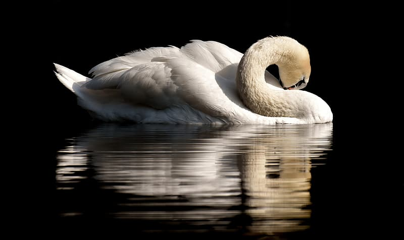 Close up photo of swan