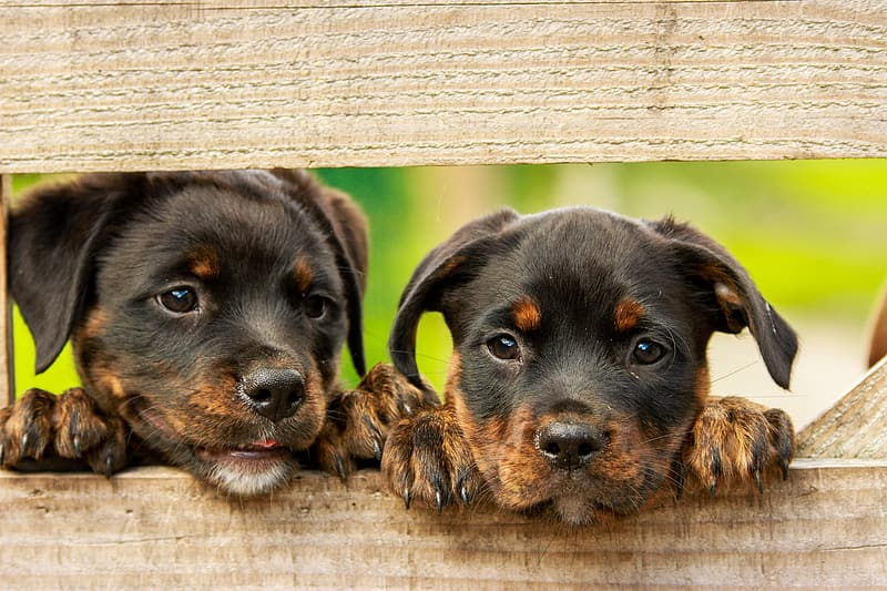 Two puppies leaning on a wooden fence