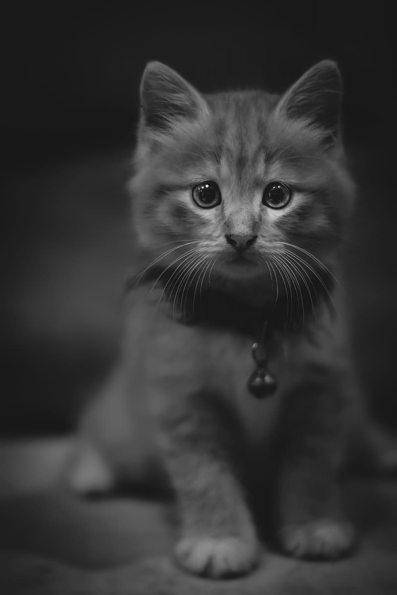 Grayscale photo of cat with silver collar
