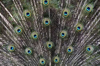 Gray peacock feathers