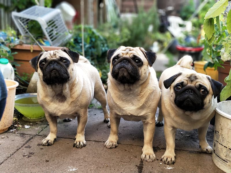 Adult fawn pugs