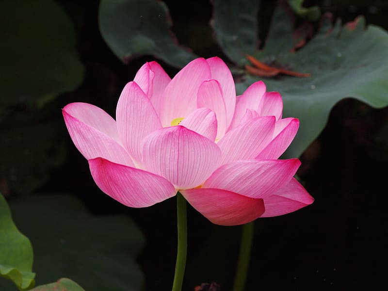 Pink lotus flower in close up photography