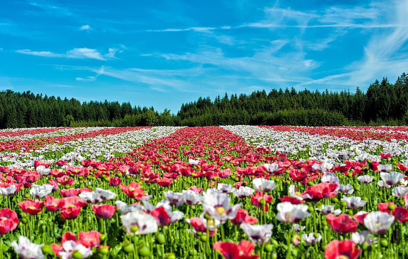 Landscape photography of red and white flowers during daytime