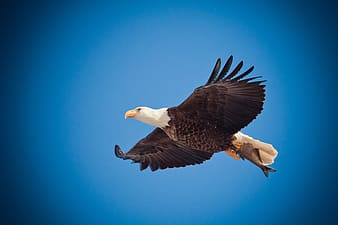 Bald Eagle photography