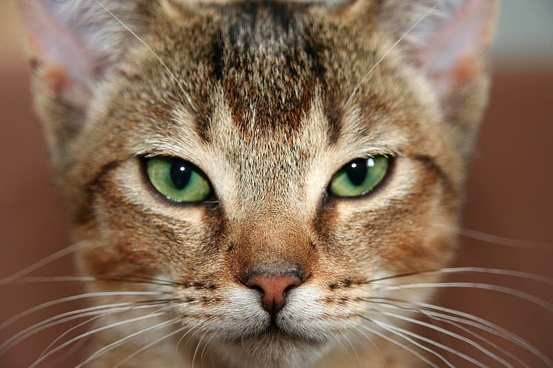 Photography of green-eyed brown cat