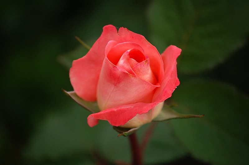 Focus photography of red rose