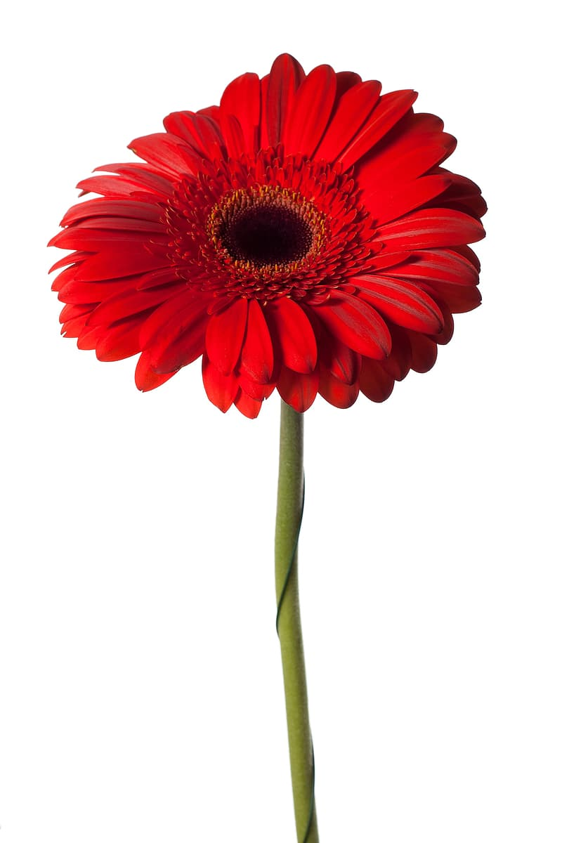 Red flower with green stem