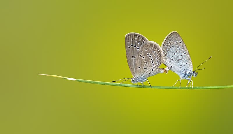 Two white-and-gray butterflies on green plant stem