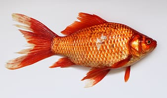 Orange fish with white background