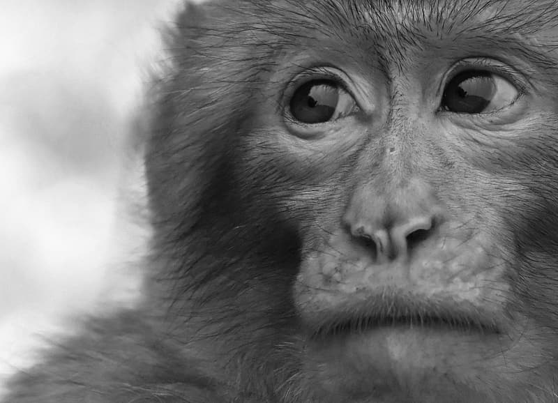 Gray scale photo of monkey