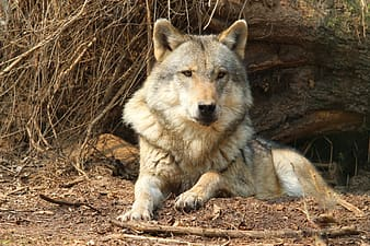 Brown wolf resting near tree