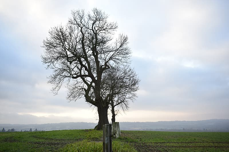 Leafless tree on green grass field under white sky during daytime